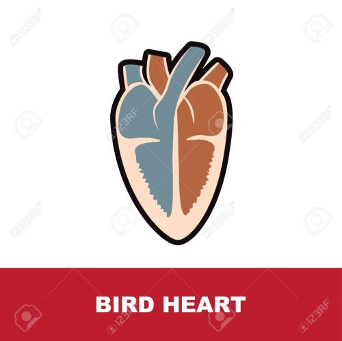 small resolution of bird schematic heart anatomy vector illustration on white stock vector 89405904