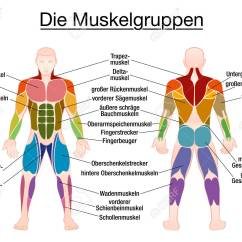 Human Muscles Diagram Labeled Front And Back Wiring In A Light Switch Muscle Chart German Labeling Most Important Of The Body Colored