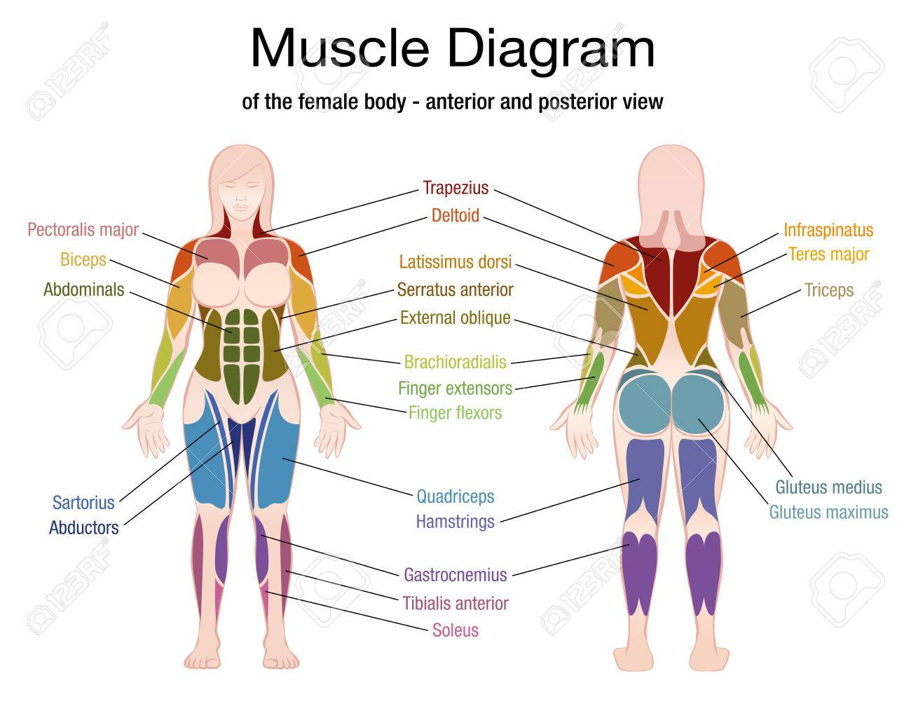 hight resolution of muscle diagram of the female body with accurate description of the most important muscles front