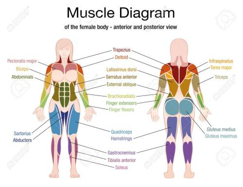 small resolution of muscle diagram of the female body with accurate description of the most important muscles front