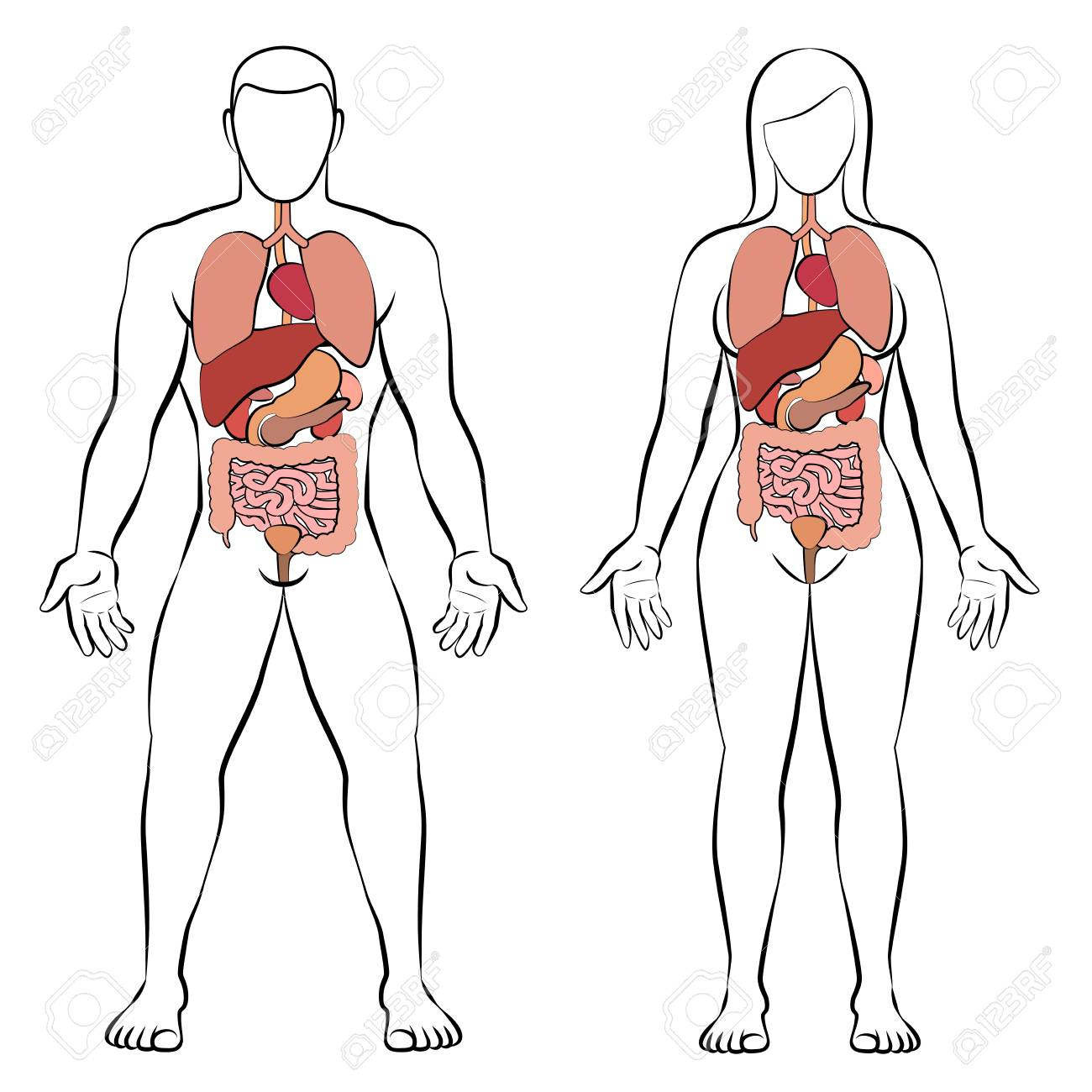 hight resolution of digestive tract with internal organs male and female body schematic human anatomy illustration