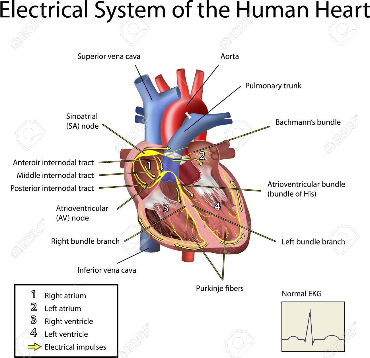 Electrical System Of The Heart Illustration Isolated On White