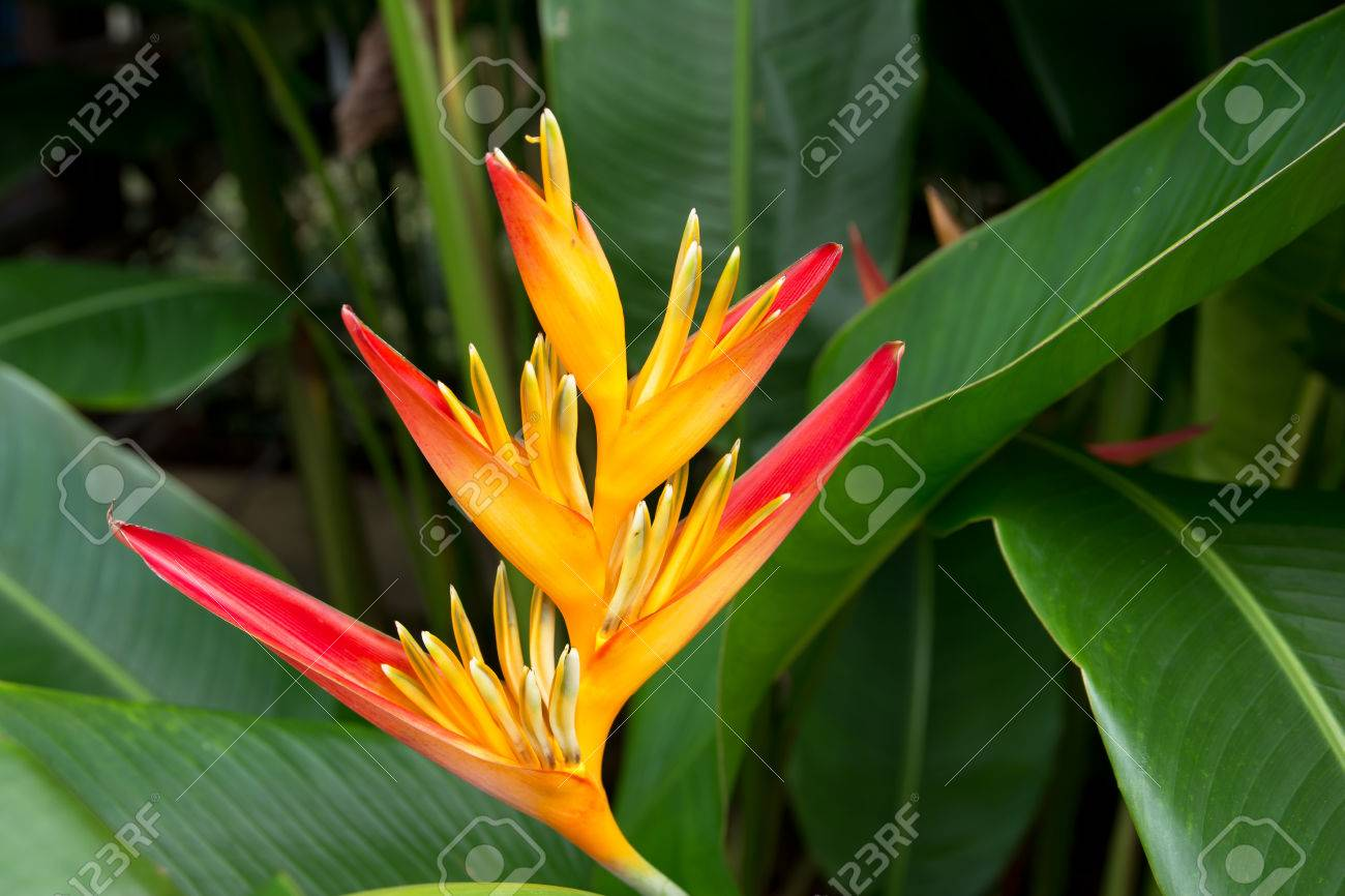Bird Of Paradise Flowers In The Garden Beautiful Bird Paradise Stock Photo Picture And Royalty Free Image Image 65857246