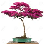 Flower Of A Alpine Rose Bonsai Tree Rhododendron Hirsutum In Stock Photo Picture And Royalty Free Image Image 21593751