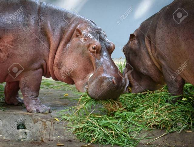 are-hippos-omnivores