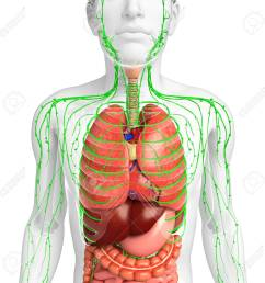 illustration of male body lymphatic and digestive system artwork stock illustration 44273031 [ 1300 x 1300 Pixel ]