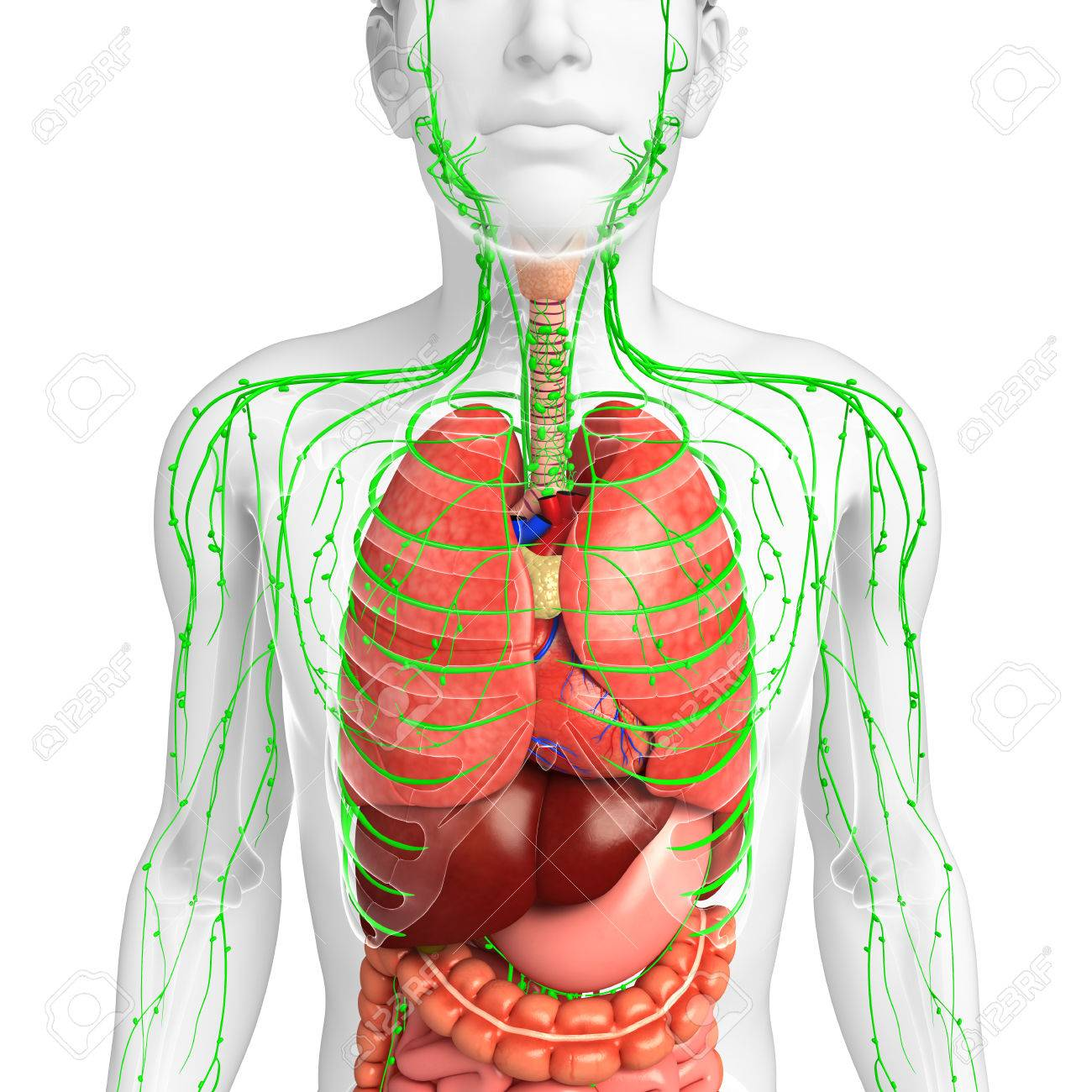 hight resolution of illustration of male body lymphatic and digestive system artwork stock illustration 44273031
