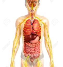 illustration of male body with nervous and digestive system artwork stock illustration 44278606 [ 963 x 1300 Pixel ]