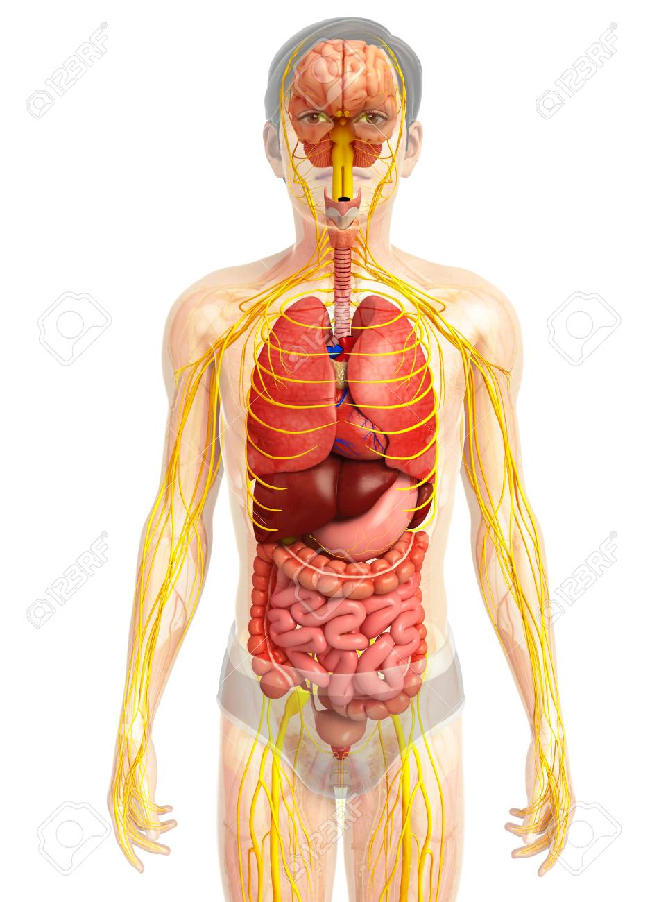 medium resolution of illustration of male body with nervous and digestive system artwork stock illustration 44278606