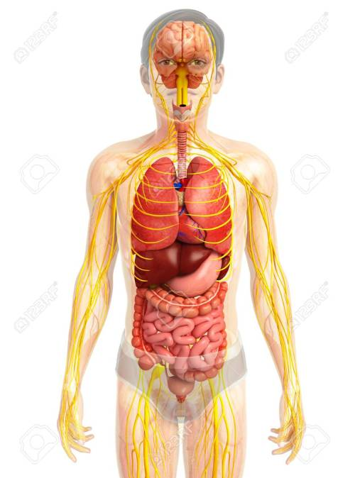 small resolution of illustration of male body with nervous and digestive system artwork stock illustration 44278606