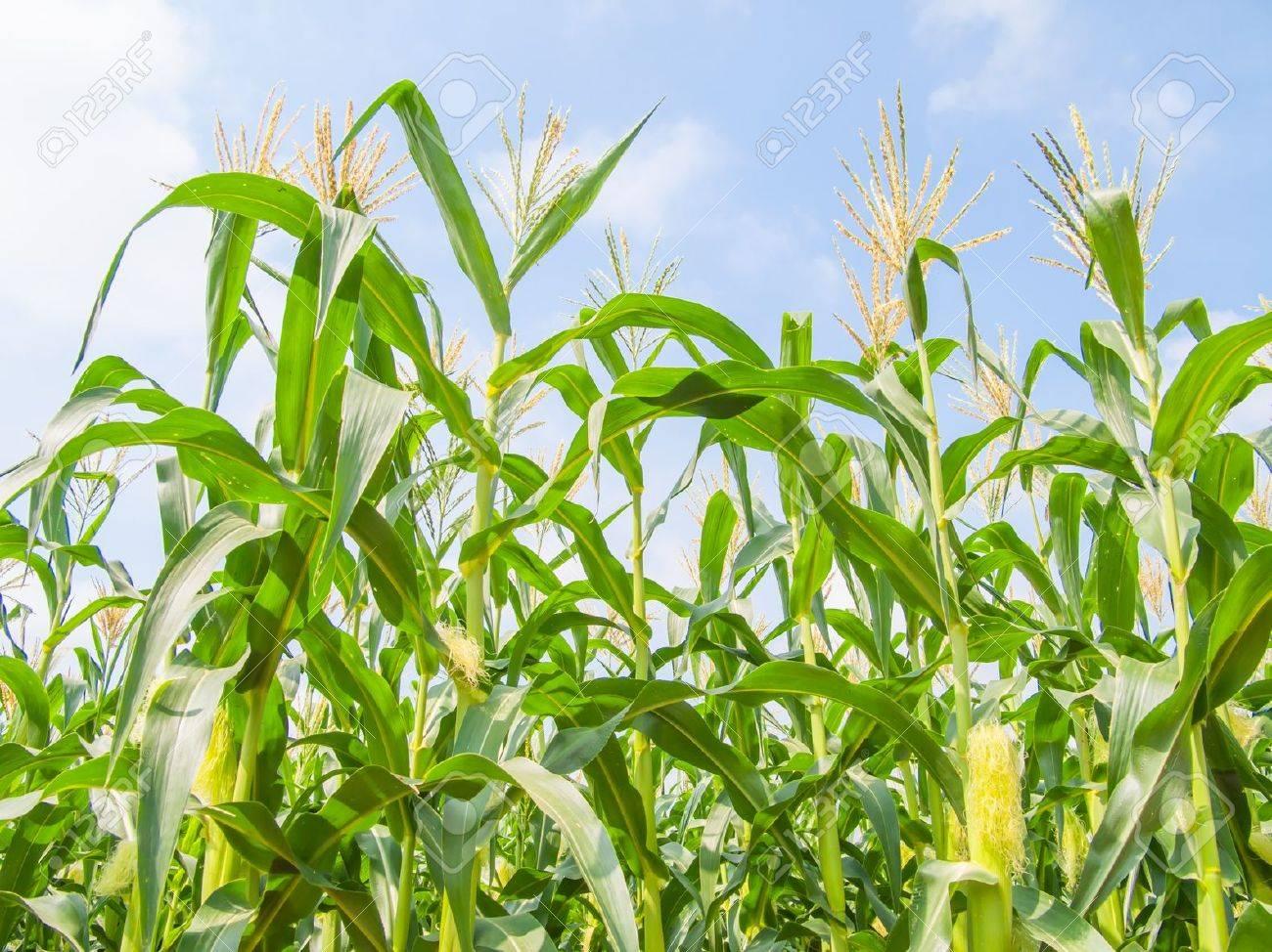 corn field farm corn