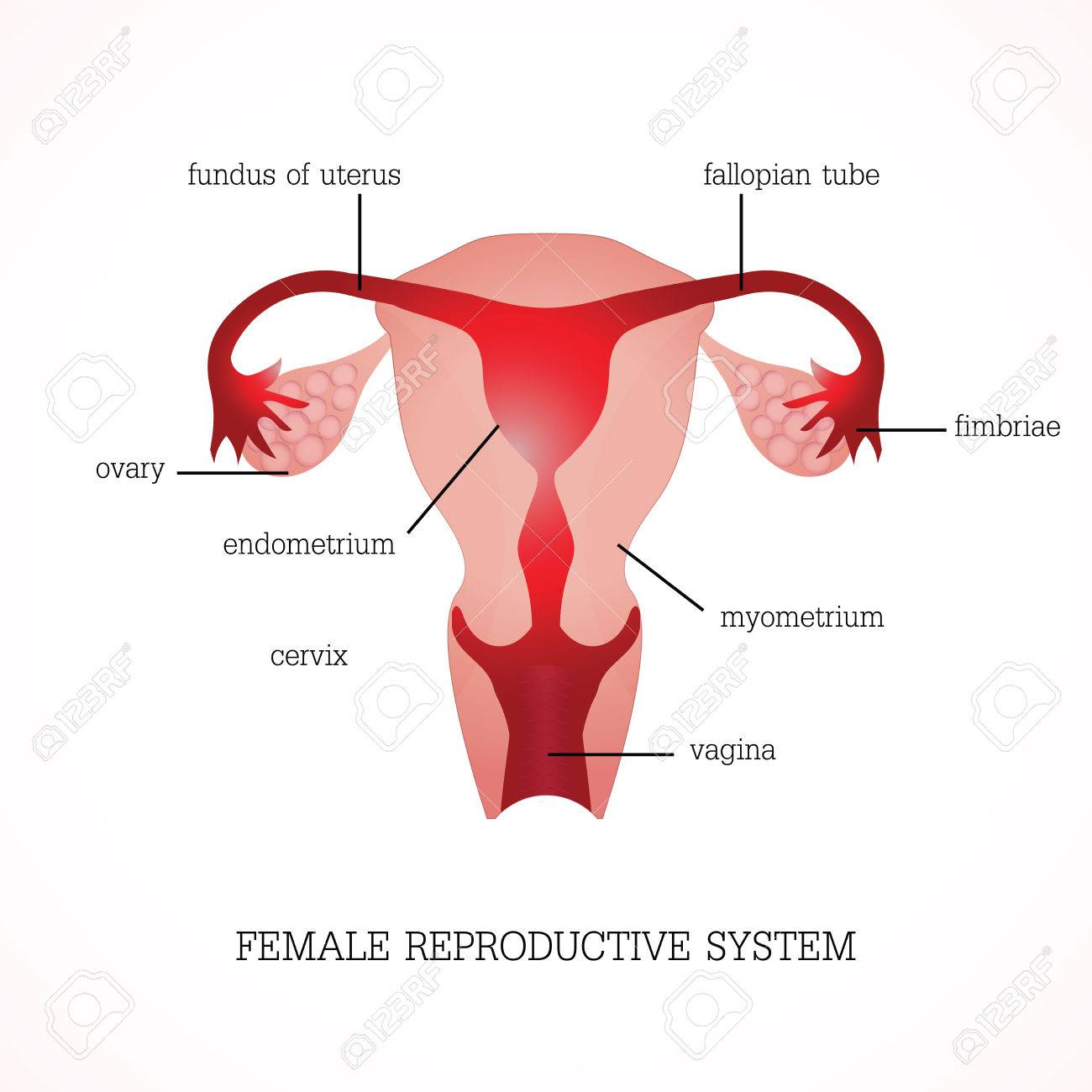 hight resolution of structure and function of human female reproductive anatomy system isolated on background human anatomy education