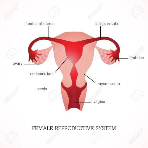 small resolution of structure and function of human female reproductive anatomy system isolated on background human anatomy education