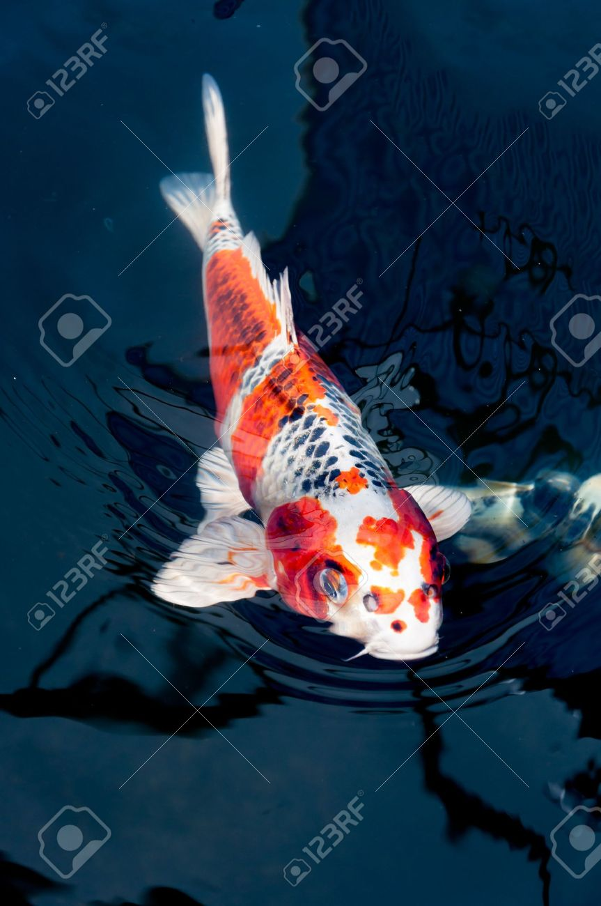 Koi Fish Pics : Beautiful, Swimming, Stock, Photo,, Picture, Royalty, Image., Image, 18828553.