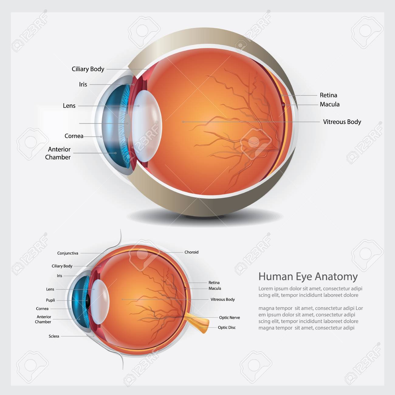 human eye anatomy and