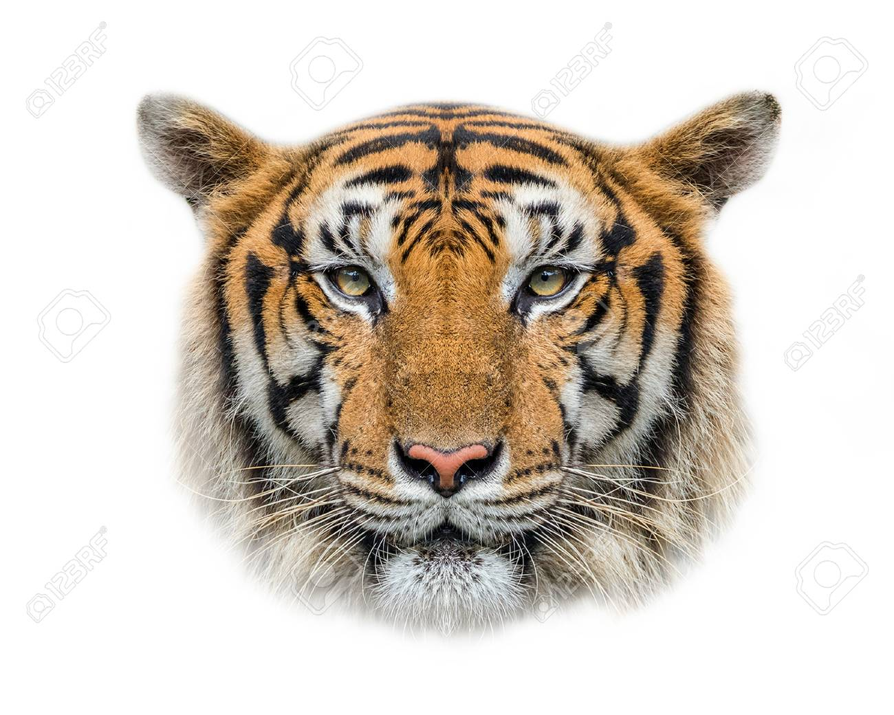 tiger s face on