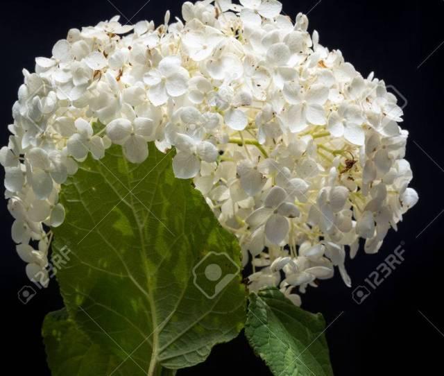 Stock Photo White Hydrangea Arborescens Annabelle Flower On Black Background