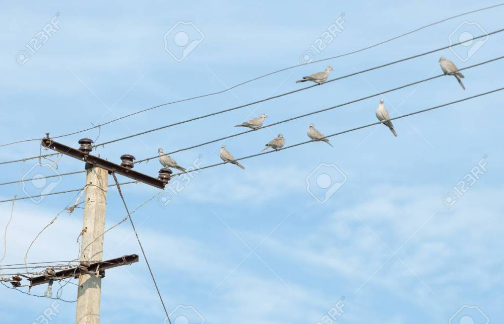 medium resolution of birds turtledove on electric wires stock photo picture and birds turtledove on electric wires stock