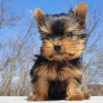 Closeup Of Playful Baby Yorkshire Terrier Puppy Outside Front Stock Photo Picture And Royalty Free Image Image 150079176