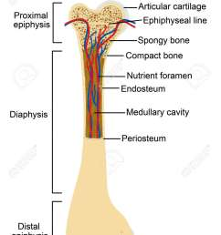 diagram of human bone anatomy useful for education in schools and clinics vector [ 938 x 1300 Pixel ]