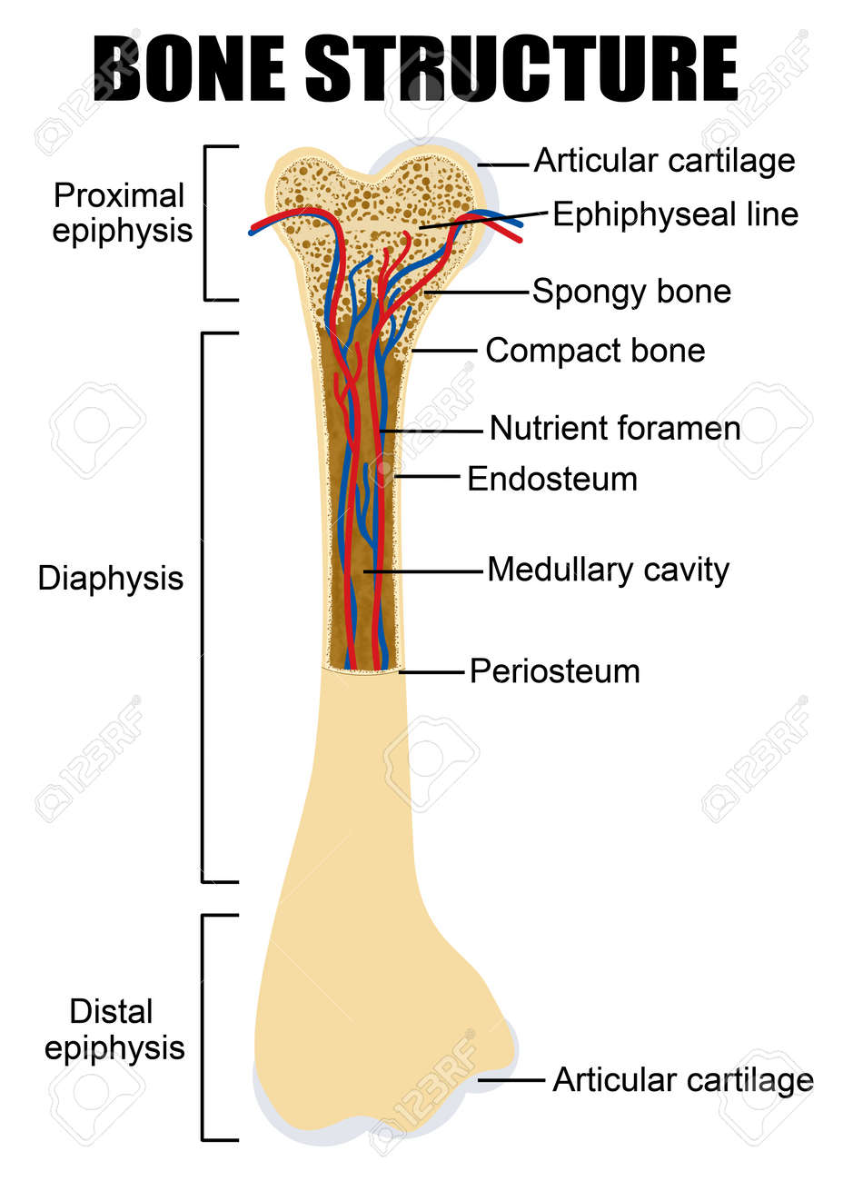 medium resolution of diagram of human bone anatomy useful for education in schools and clinics vector