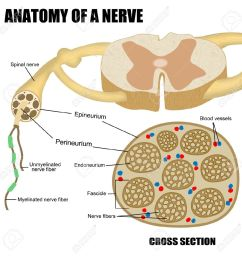 anatomy of a nerve for basic medical education for clinics schools stock photo 18207744 [ 1300 x 1300 Pixel ]