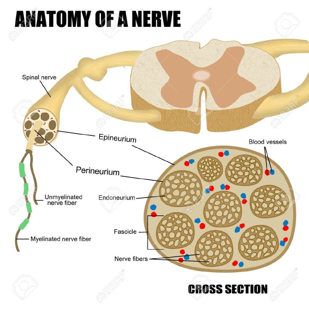 medium resolution of anatomy of a nerve for basic medical education for clinics schools stock photo 18207744