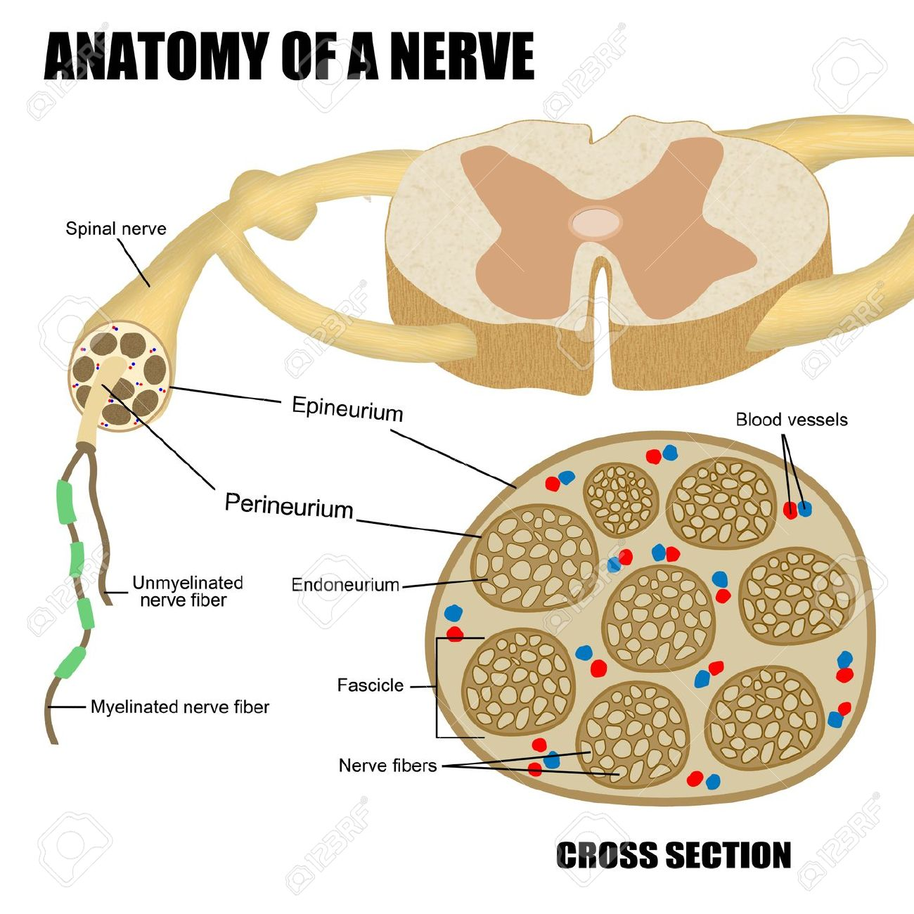 hight resolution of anatomy of a nerve for basic medical education for clinics schools stock photo 18207744