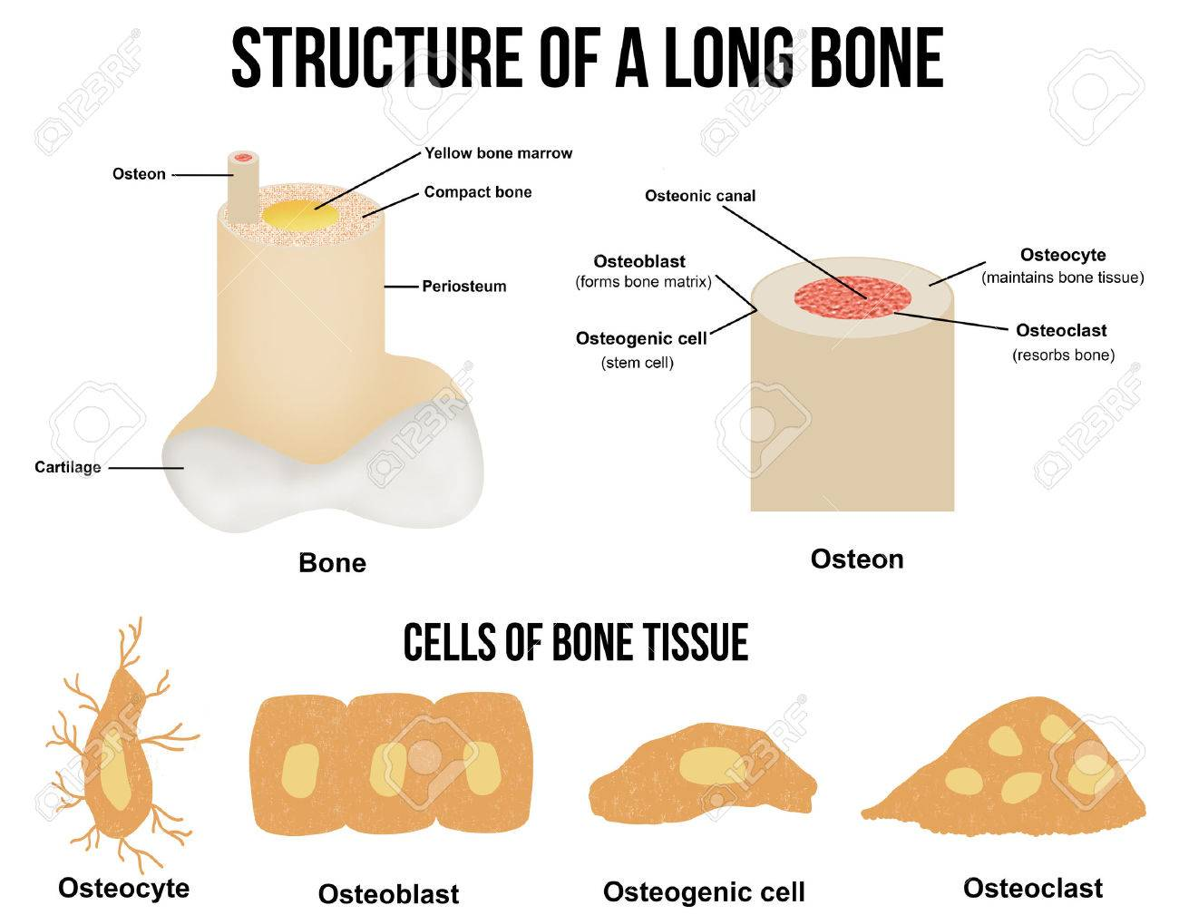 hight resolution of structure of a long bone and cells of bone tissue useful for education in schools