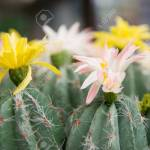 Cactus Plants With Colorful Flowers Stock Photo Picture And Royalty Free Image Image 82004837
