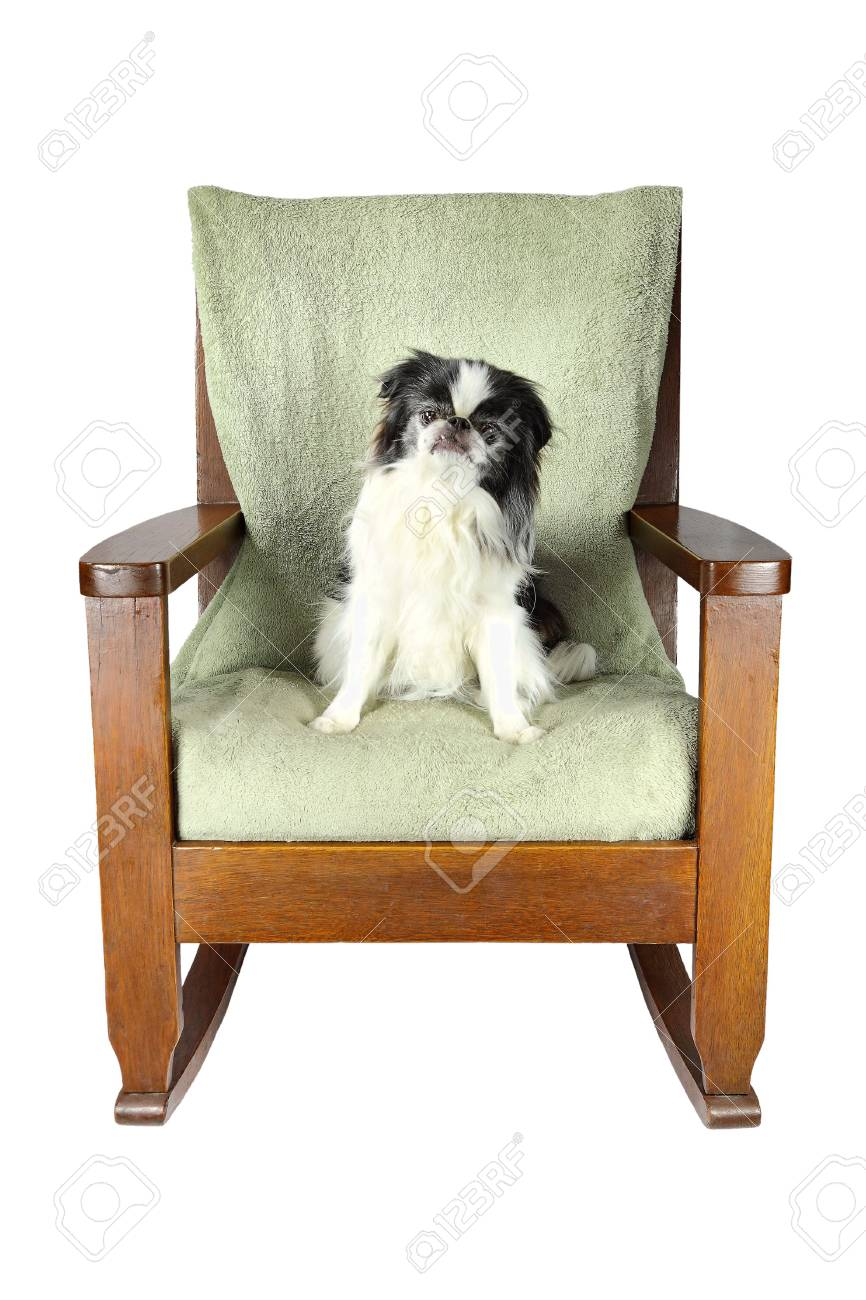 Japanese Chair Isolated Japanese Chin Dog Relaxing On A Chair