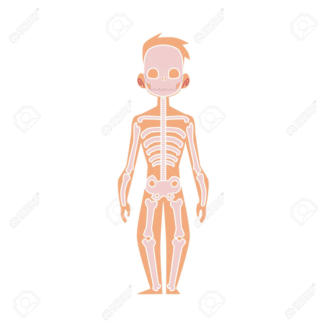 human bone structure diagram home light switch wiring of male skeleton online vector flat the body anatomy bones