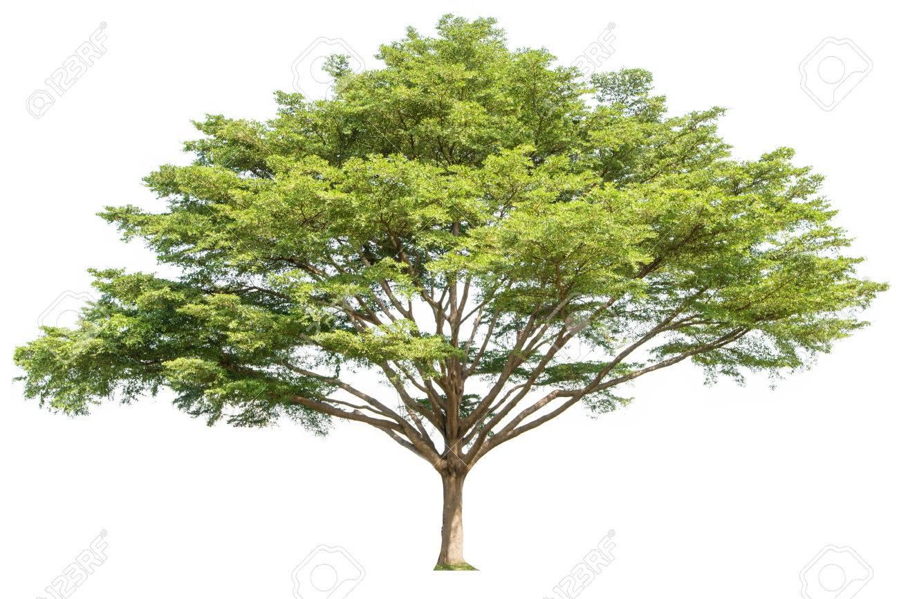 grand fond blanc isole arbre