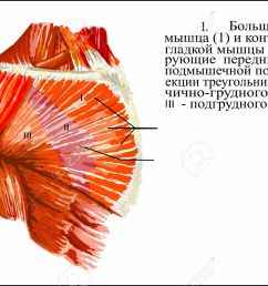 human anatomy pectoralis major muscle stock photo 62844053 [ 1300 x 851 Pixel ]