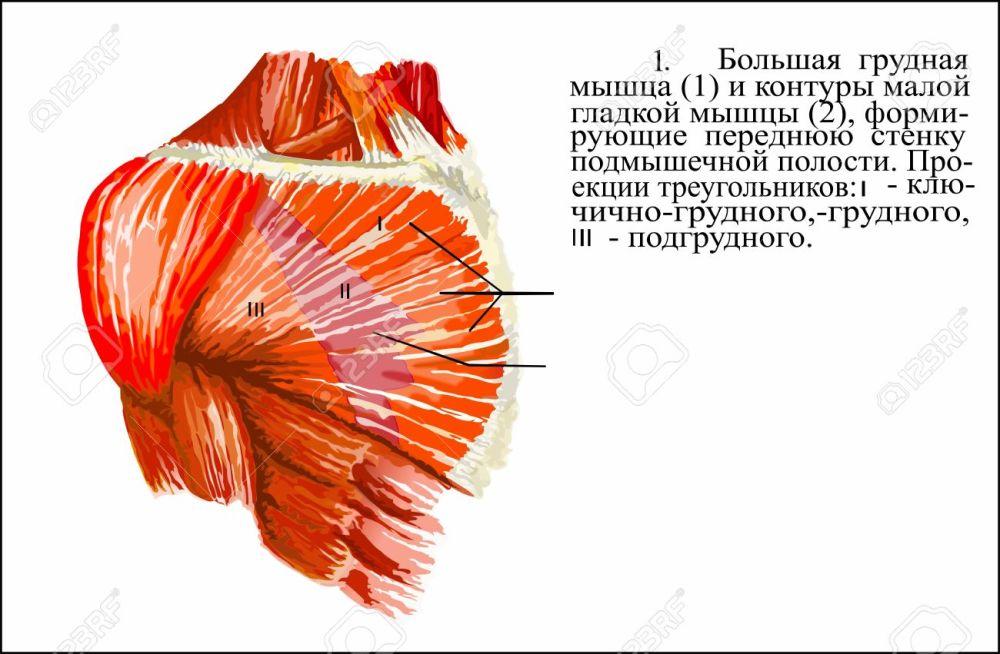 medium resolution of human anatomy pectoralis major muscle stock photo 62844053
