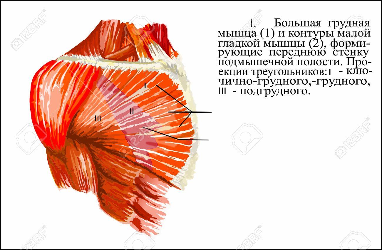 hight resolution of human anatomy pectoralis major muscle stock photo 62844053