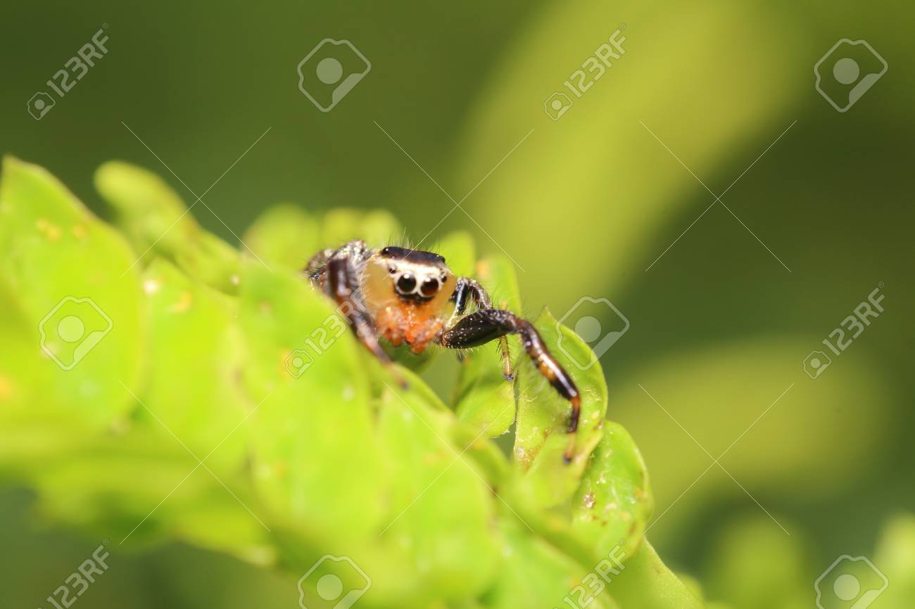 Small Jumping Spider Live In The Green Garden Thailand Stock Photo Picture And Royalty Free Image Image 47294327