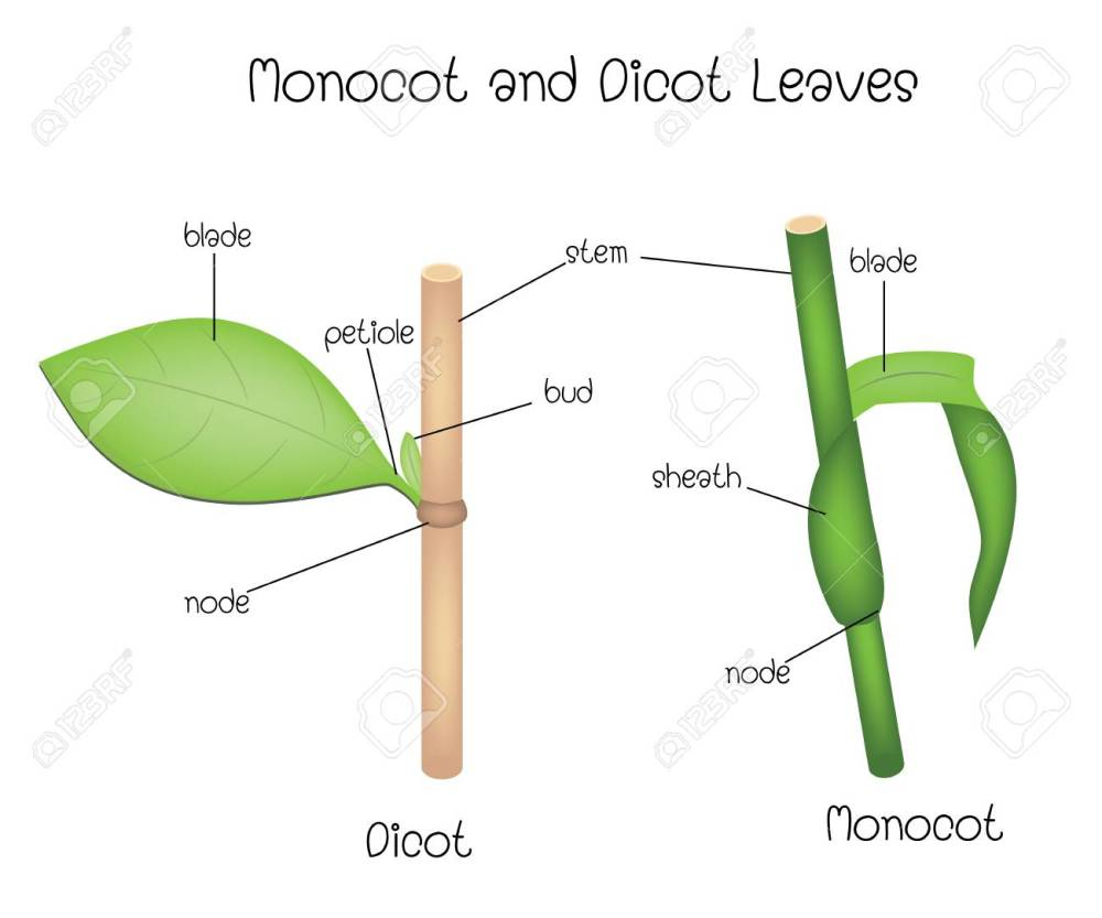 medium resolution of monocot and dicot leaves stock vector 115172003