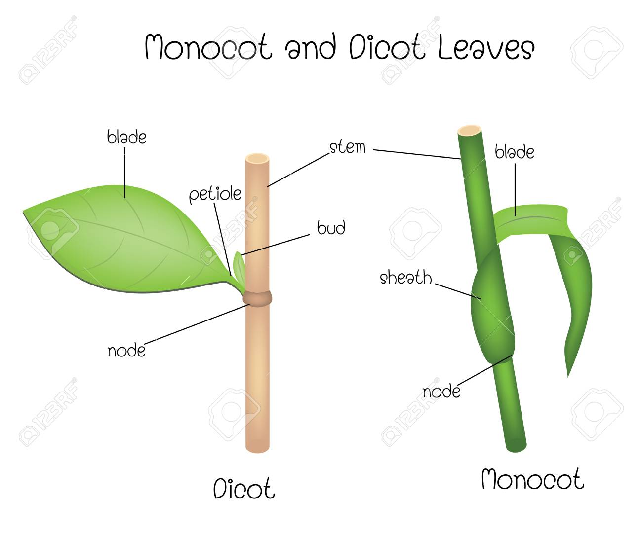 hight resolution of monocot and dicot leaves stock vector 115172003