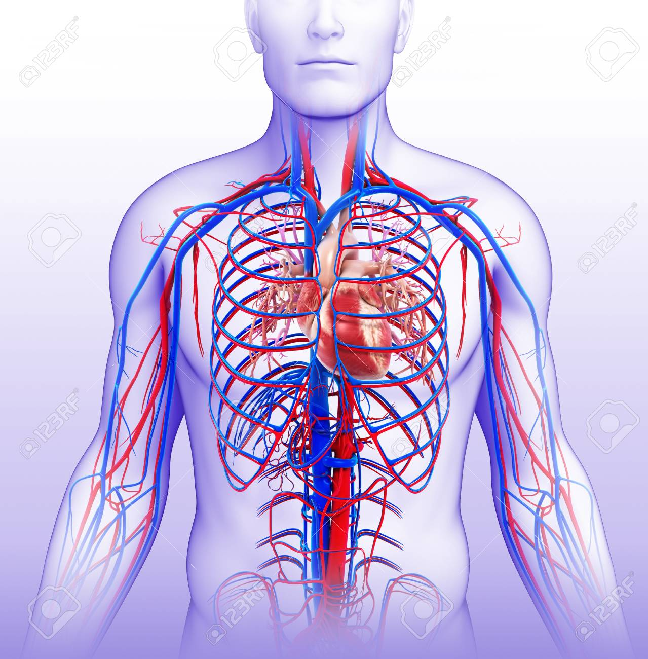 human vascular anatomy diagram 2008 ford f150 trailer wiring system illustration stock photo picture and royalty 76616058