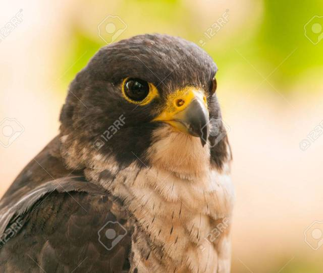 Head Of Peregrine Falcon Falco Peregrinus Fastest Animal In The World Stock Photo