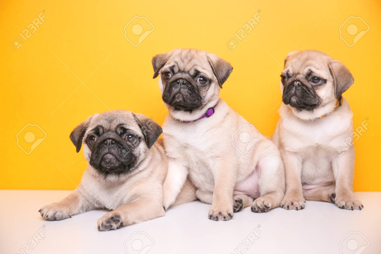 Cute Pug Puppies On Color Background Stock Photo Picture And Royalty Free Image Image 112777763