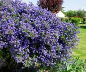 shrub with blue flowers
