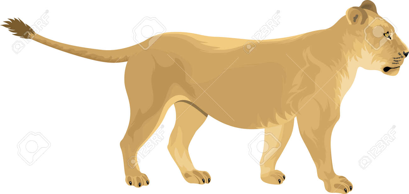 hight resolution of female lion lioness panthera leo stock vector 64845207