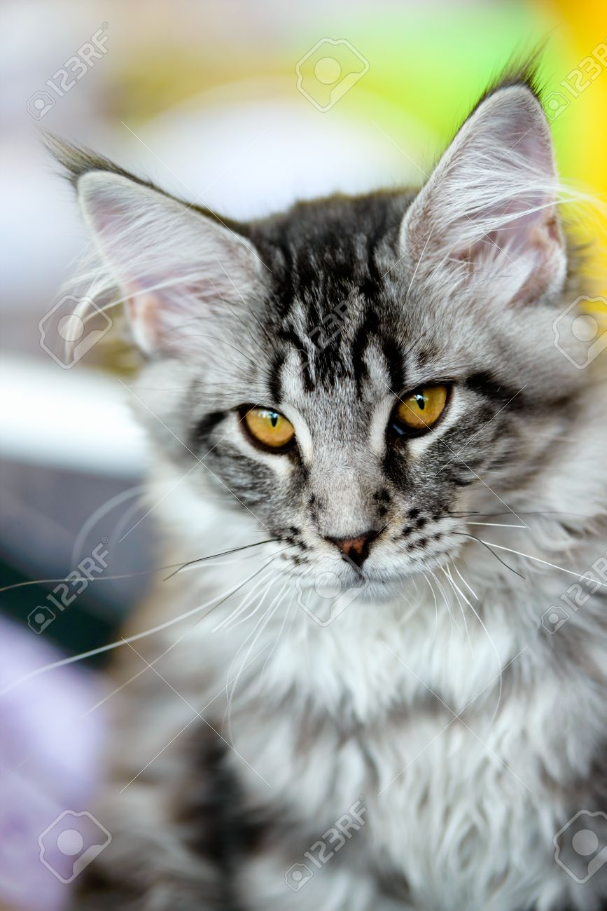Grey And White Maine Coon : white, maine, Grey-white, Tabby, Maine, Stock, Photo,, Picture, Royalty, Image., Image, 28457928.