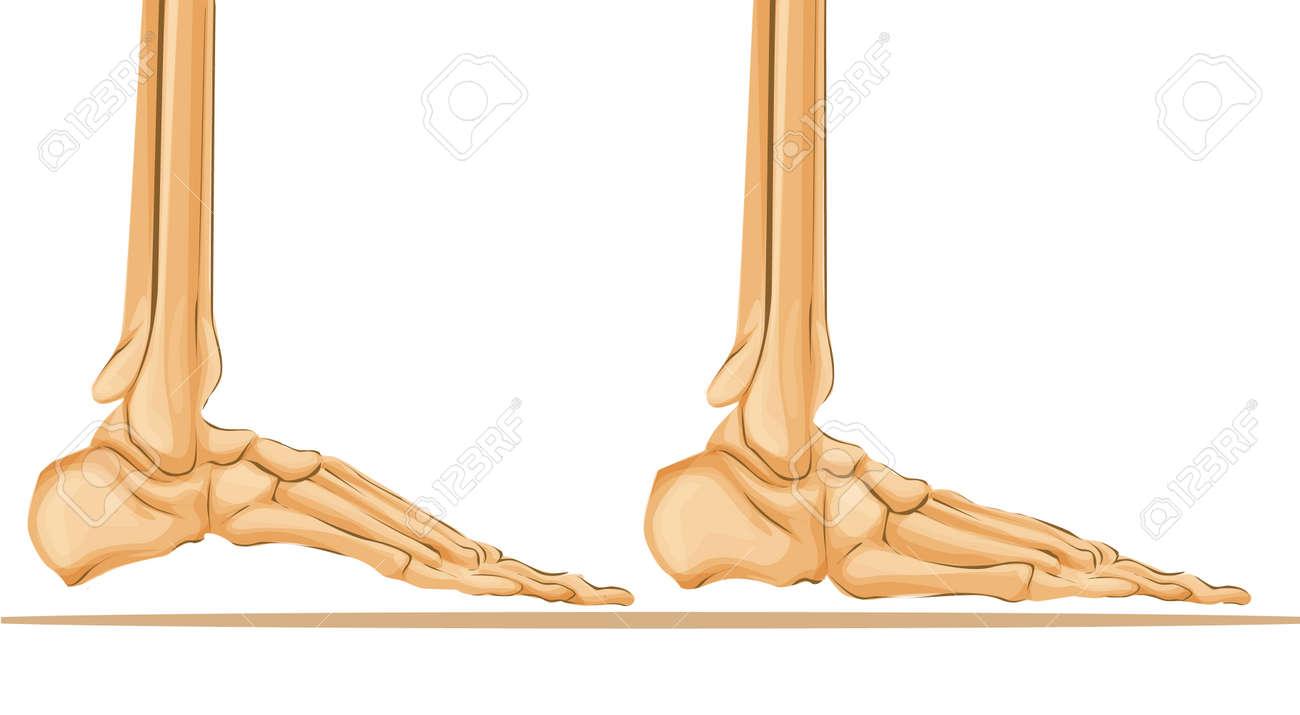 hight resolution of foot bone anatomy medical art illustration stock vector 92986382