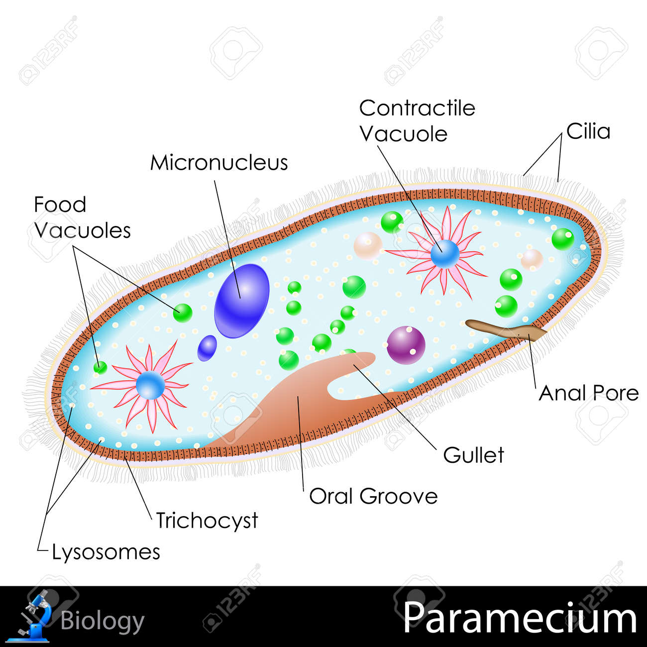 paramecium diagram blank kawasaki bayou 220 wiring of best library