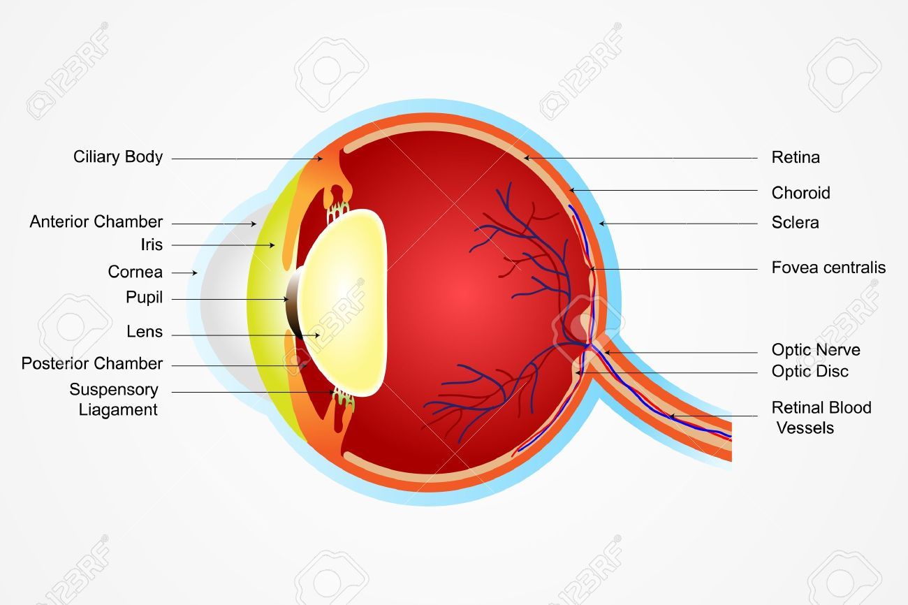 hight resolution of vector vector illustration of diagram of eye anatomy with label