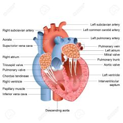 Realistic Heart Diagram Isuzu Npr Stereo Wiring Vector Illustration Of Drawing Anatomy Royalty Free