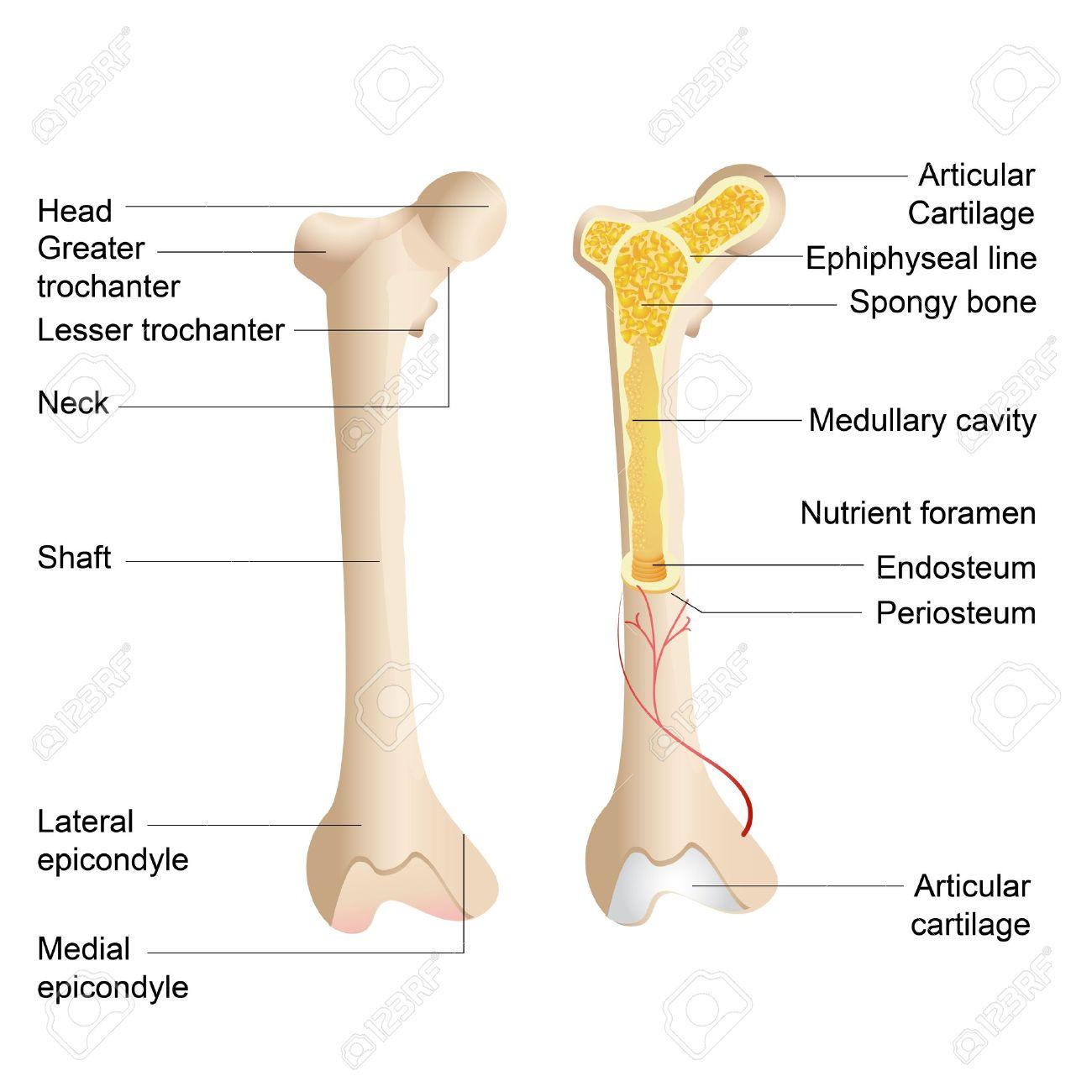 hight resolution of vector illustration of diagram of human bone anatomy royalty free diagram of a foot bones diagram of a bone